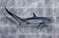 shark Nick Oneil